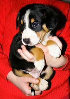 Berner Puppy. I want one. Soooo bad!