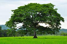 National Tree: Guanacaste