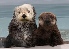 Never have sea otters posed so perfectly for a portrait - May 18, 2014