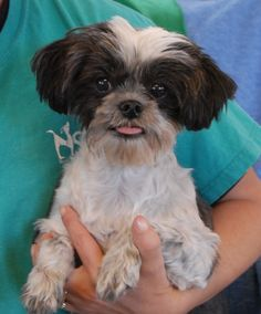Jennie is a delightful, calm-natured girl debuting for adoption today at Nevada SPCA (www.nevadaspca.org).  She is a Shih-Tzu, about 10 years of age, spayed, and great with other friendly dogs.  Jennie's background is mostly unknown.  She was at another shelter that asked for our help because she needed dental care.  We had dental care provided for her and she is now ready for a loving, forever home.