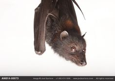 A black flying fox (Pteropus alecto) at the Australian Bat Clinic - Joel Sartore