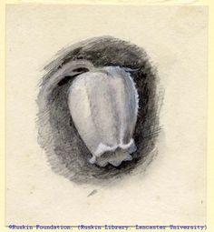 John Ruskin, Flower Studies, RF1274-1 © Ruskin Foundation