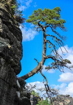 Survive - a single tree growing on the rocks of the Basteigebiete