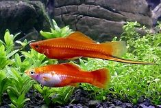Learn how to choose the best fish for your freshwater tank and get some stocking ideas when it comes to which kinds of fish and aquarium critters to consider. Aquarium Fish For Sale, Tropical Fish Aquarium, Aquarium Fish Tank, Aquarium Ideas, Swordtail Fish, Live Fish, African Cichlids, Guppy, Aquariums