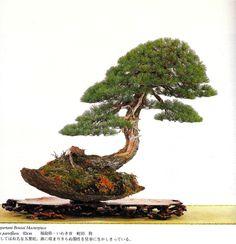 kimurapine.jpg (663×687)