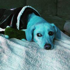 Feeling blue.  #corgi #labrador #corgiofinstagram #corgioftheday #dogsofinstagram #corgidor #corgicommunity by jackster_corgidor
