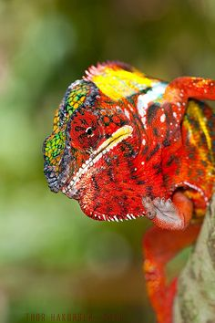 Once seen, the fiery colors of a panther chameleon are never forgotten, and this photograph of the species is surely one of the best. Male panther chameleons are more vibrantly colored than females, and when they encounter one another males will often color-change in shows of dominance.