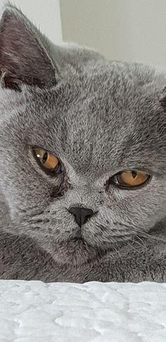 Adam British Shorthair, Cute Cats, Silver, Animals, Pretty Cats, Animales, Animaux, Animal, Animais