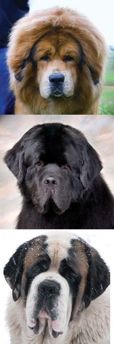 dfd2797a28 Here we compare three massive working breeds of the dog world each one  created to serve