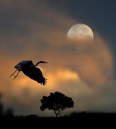 This picture of a crane taking flight is very unique because both the sunset and the moon rise act as light sources. The glowing clouds behind the bird contrast dramatically with the silhouettes of the bird and the tree.