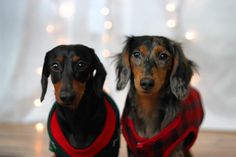 Hey what's up hello  #dachshund #dachshundoftheday #dachshunds #dachshundlove #doxie #love #weinerdog #doxiesofinstagram #doxieobsessed #cute #dog #puppy #dachshundsunited #cutepuppy  #dogs_of_world #officialpuppy #dogscorner #featuremydogz #cutepetclub #dog_features #lacyandpaws #topdogphoto #dailybarker #Joylovepetscontest by brody.blake