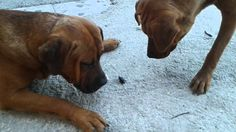 2 Dogs vs 1 Beetle ! Funny Stuff