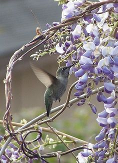 Hummingbird on Wisteria.I want to grow wisteria on my front walkway. Its sooooo pretty Pretty Birds, Love Birds, Beautiful Birds, Animals Beautiful, Cute Animals, Photo Shutter, Image Nature, Little Birds, Bird Watching