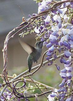 A Hummingbird on Wisteria