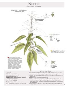 One of the two nettle pages from the bookForaging & Feasting: A Field Guide and Wild Food Cookbook by Dina Falconi; illustrated by Wendy Hollender.