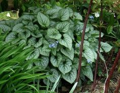 """""""jack frost"""" for dry shade garden (north facing)"""