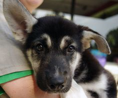 Gerberian Shepsky - German Shepherd & Siberian Husky mix…this looks ...