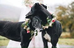 Lovely bridesmaid greyhound doggies