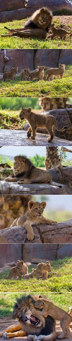 The Safari Park's Lion Camp king, Izu, is practicing his patience with 4 little #lion cubs.