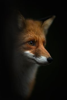 Photo and caption by Kai Fagerström    Potret of fox
