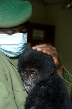 Shamavu, a baby gorilla rescued in Congo, by Wildlife Authorities, from some poachers.