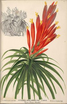 Pitcairnia aphelandriflora - circa 1870