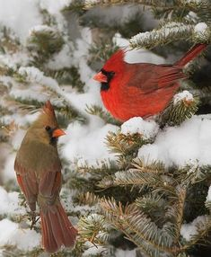Red Birds aka Cardinals are beautiful in the white snow. Pretty Birds, Love Birds, Beautiful Birds, Animals Beautiful, Cute Animals, Birds Pics, Tribal Animals, Beautiful Couple, Cardinal Birds