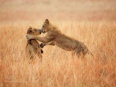Lion Kiss by liborploek via http://ift.tt/1SUZMaI