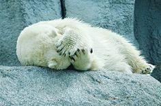 Polar Bear Relaxing On Rock