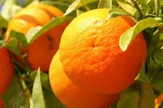 Health benefit of Orange  Orange is a fruit that is very popular all over the world. Citrus fruits can also be grown in any season, so we do not need to wait to get it.