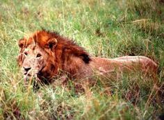 Northeast Congo Lion--is extremely rare in the wild and in danger of becoming extinct.