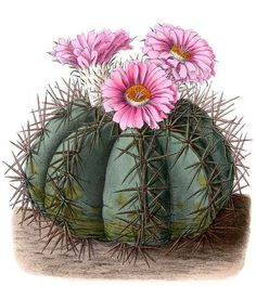 Echinocactus horizonthalonius - circa 1904 Best Picture For Cactus craft For Your Taste You are looking for some. art decoracion dibujo diy garden indoor painting plants drawing appartement bathroom home decor wood room decor Succulents Drawing, Cactus Drawing, Cactus Painting, Cacti And Succulents, Cactus Plants, Indoor Cactus, Cactus Decor, Cactus Art, Cactus Flower