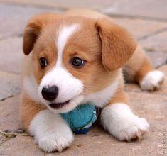 Corgi puppy <3