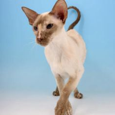 Cinnamon tabby point Siamese! What a cutie!