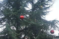 red bauble, outdoor christmas trees, Kew Gardens, christmas at Kew, decorated tree  --- http://plews.gd/1Tm4Di1