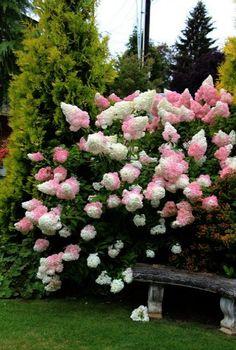 Vanilla Strawberry Hydrangea 2016 \/ Cottage Garden