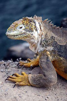 Land Iguana - Isla Plaza Sur, Galapagos I have a Green Iguana. I just love Iguanas.