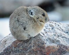 Pika...Just look at this little guy
