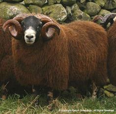 Spinning  fiber from this sheep would make beautiful yarn!