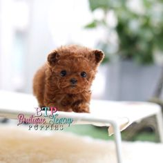 Poodles are highly sociable breeds because they can interact positively with humans and other animals. Teacup Poodle Puppies, Poodle Puppies For Sale, Tea Cup Poodle, Cute Puppies, Cute Dogs, Tiny Puppies, Teacup Dogs For Sale, Dog Toys, Toy Dogs