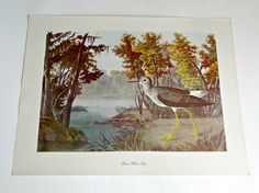 Audubon Bird Print For Framing Lesser Yellow Legs Print 1940's Birds of America by treasurecoveally on Etsy