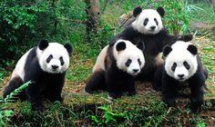 Tuvo 130 hijos en 25 años: el oso panda que salvó a su especie de la extinción