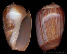 Olivancillaria_urceus_3.jpg