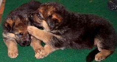German Shepherd puppy telling a secret ;-)  Highlander German Shepherds  www.highlandergermanshepherds.com