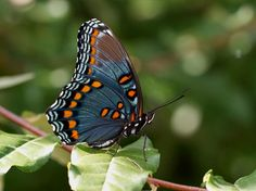 red-spotted purple/american white admiral