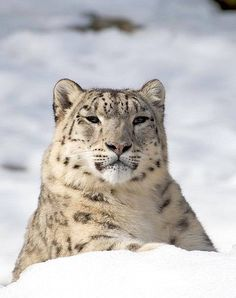 Clouded Snow Leopard Resting Against a Small Mound of Snow.