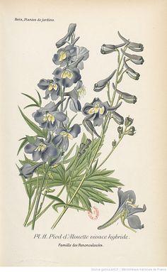 Pied d'Alouette vivace hybride, Atlas des plantes de jardins et d'appartements exotiques et européennes... Planches, 1-160 / par D. Bois,... | 1896