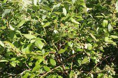 Cute little green blueberries in Oct 2014 at Lavender Backyard Garden, Hamilton, New Zealand