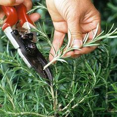 Do you want more plants without spending extra money? It's quick and easy to take cuttings from your plants, and these cuttings will grow into full size plants much quicker than seeds will. Find out about the different types of cuttings, what supplies you'll need, and see our step-by-step instructions.