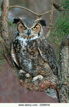 Owl Stock Photos & Owl Stock Images - Page 36 - Alamy Beautiful Owl, Animals Beautiful, Cute Animals, Owl Photos, Owl Pictures, Barred Owl, Great Horned Owl, Owl Bird, Tier Fotos